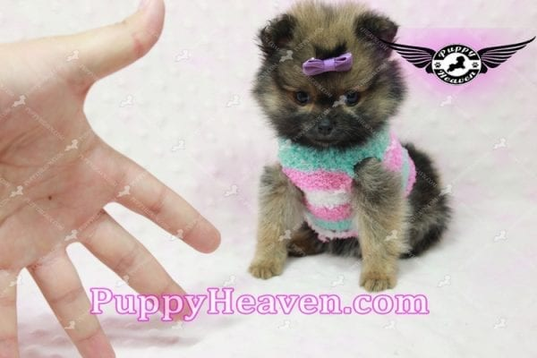 Lily - Micro Teacup Pomeranian Puppy -10858