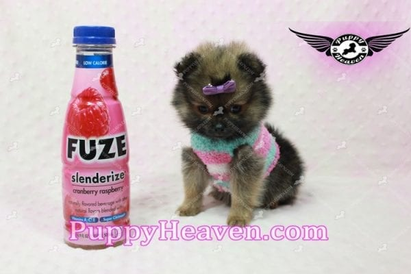 Lily - Micro Teacup Pomeranian Puppy -10857
