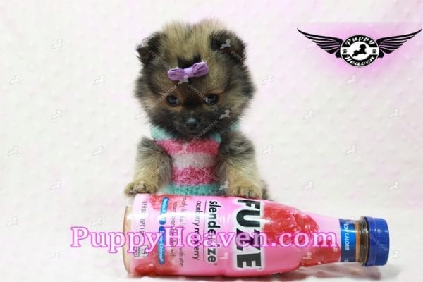 Lily - Micro Teacup Pomeranian Puppy -10854