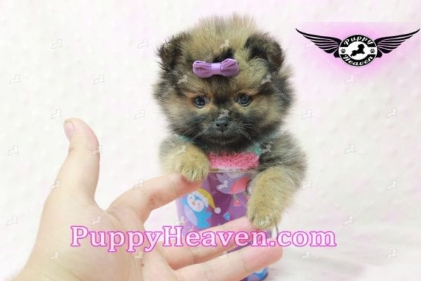 Lily - Micro Teacup Pomeranian Puppy -10852