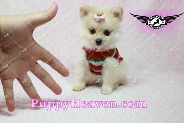 Love of My Life -Teacup Pomeranian Puppy has found a good loving home with Dominique from Bernalillo, NM 87004-10862