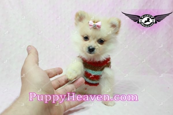 Love of My Life -Teacup Pomeranian Puppy has found a good loving home with Dominique from Bernalillo, NM 87004-10859