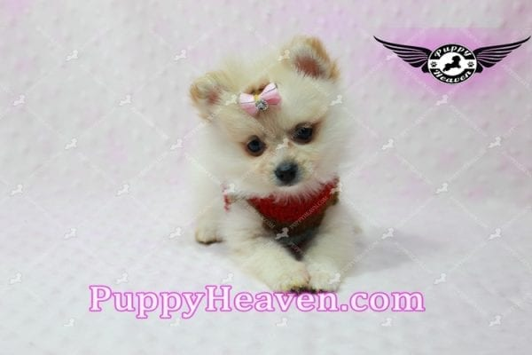 Love of My Life -Teacup Pomeranian Puppy has found a good loving home with Dominique from Bernalillo, NM 87004-10860