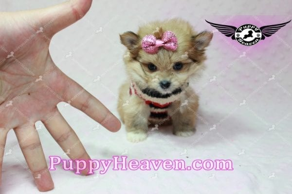 Nala - Teacup Pomshi Puppy in L.A-10915