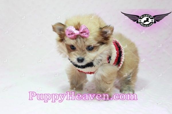 Nala - Teacup Pomshi Puppy in L.A-10909