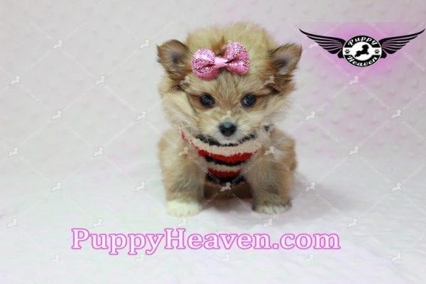 Nala - Teacup Pomshi Puppy in L.A-10917
