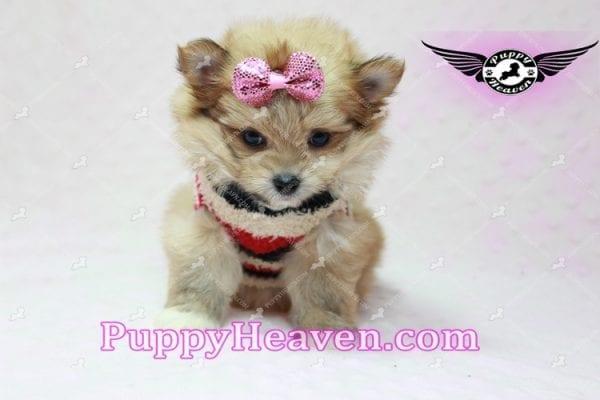 Nala - Teacup Pomshi Puppy in L.A-10910