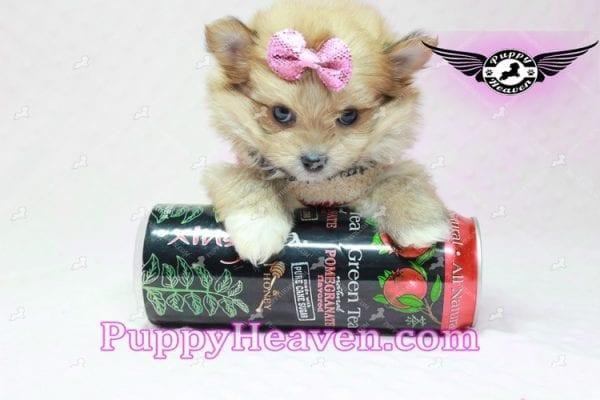 Nala - Teacup Pomshi Puppy in L.A-10913