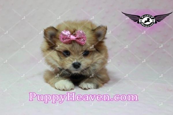 Nala - Teacup Pomshi Puppy in L.A-10919