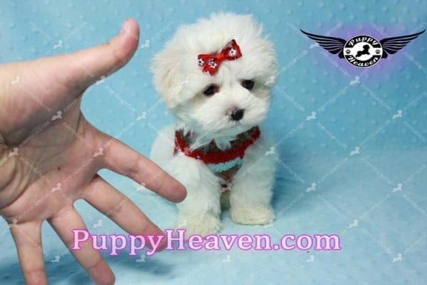 Noah Galvin - Teacup Maltese Puppy Found A New Loving Home With Katherine From West Covina CA 91791-11055