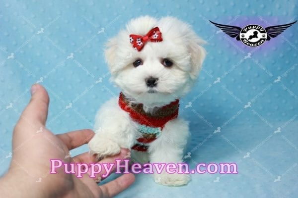 Noah Galvin - Teacup Maltese Puppy Found A New Loving Home With Katherine From West Covina CA 91791-11051