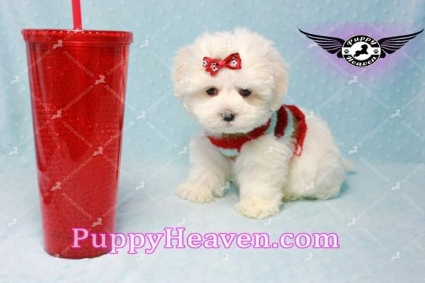 Noah Galvin - Teacup Maltese Puppy Found A New Loving Home With Katherine From West Covina CA 91791-0