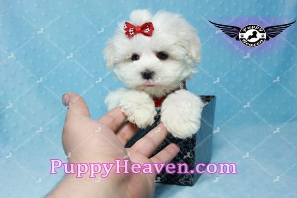 Noah Galvin - Teacup Maltese Puppy Found A New Loving Home With Katherine From West Covina CA 91791-11050