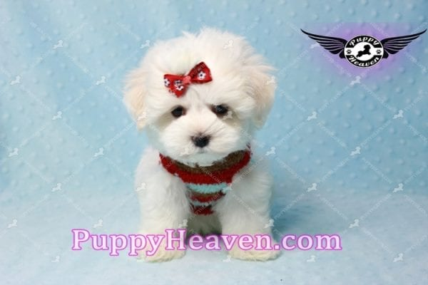 Noah Galvin - Teacup Maltese Puppy Found A New Loving Home With Katherine From West Covina CA 91791-11054