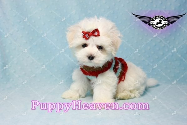 Noah Galvin - Teacup Maltese Puppy Found A New Loving Home With Katherine From West Covina CA 91791-11052