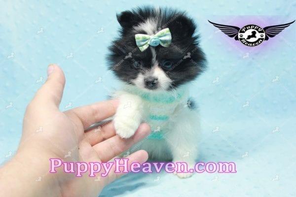 Prince - Micro Teacup Pomeranian Found A New loving home-10837