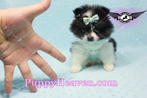 Prince - Micro Teacup Pomeranian Found A New loving home-10842