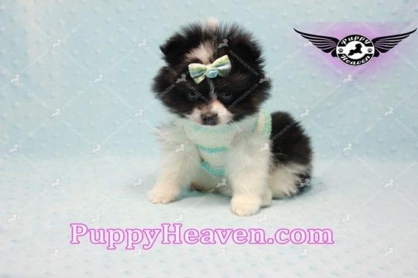 Prince - Micro Teacup Pomeranian Found A New loving home-10840