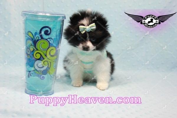 Prince - Micro Teacup Pomeranian Found A New loving home-10836