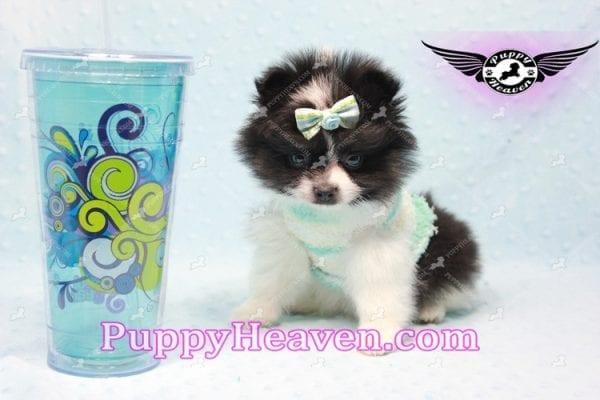 Prince - Micro Teacup Pomeranian Found A New loving home-0