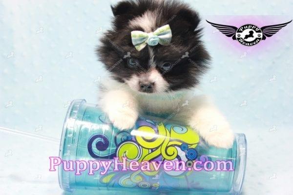 Prince - Micro Teacup Pomeranian Found A New loving home-10835