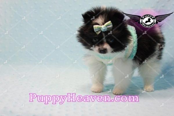Prince - Micro Teacup Pomeranian Found A New loving home-10838