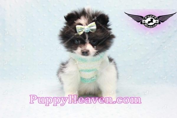 Prince - Micro Teacup Pomeranian Found A New loving home-10843