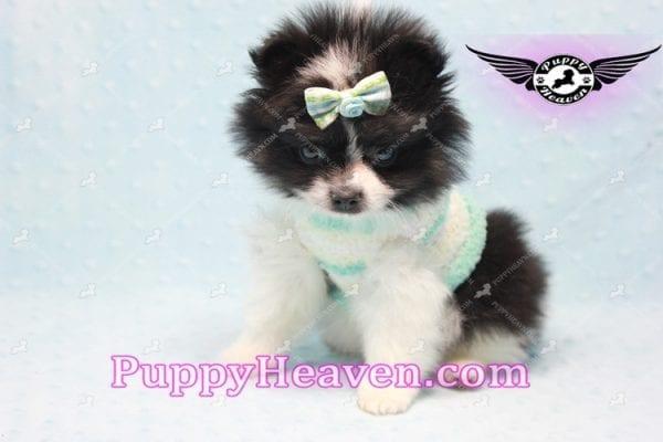 Prince - Micro Teacup Pomeranian Found A New loving home-10841