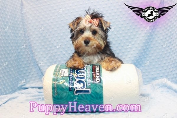 Prince William - Teacup Yorkie Puppy has found a good loving home with Martina from Las Vegas, NV 89113-0