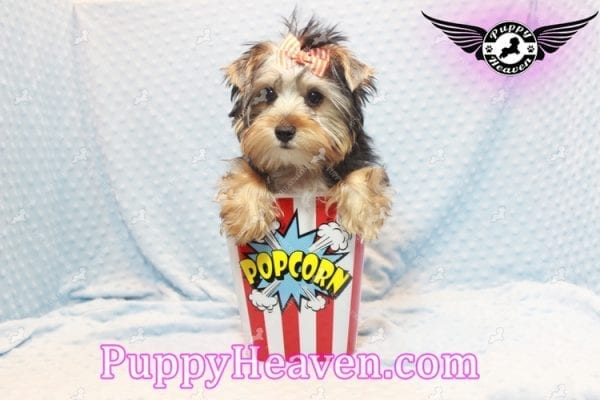 Prince William - Teacup Yorkie Puppy has found a good loving home with Martina from Las Vegas, NV 89113-11107