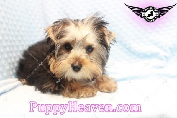 Prince William - Teacup Yorkie Puppy has found a good loving home with Martina from Las Vegas, NV 89113-11109