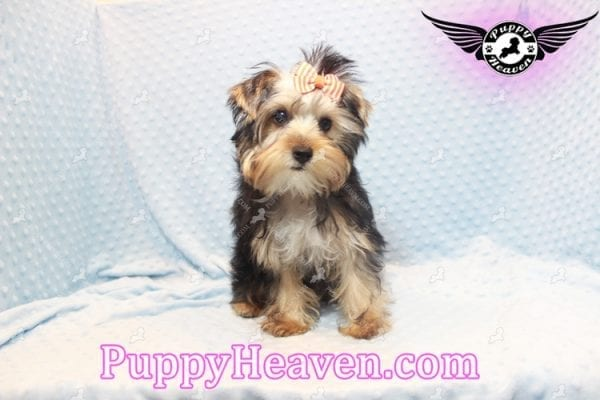 Prince William - Teacup Yorkie Puppy has found a good loving home with Martina from Las Vegas, NV 89113-11104