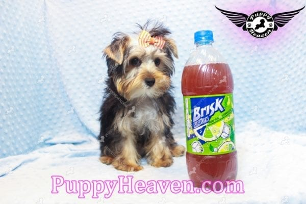 Prince William - Teacup Yorkie Puppy has found a good loving home with Martina from Las Vegas, NV 89113-11106
