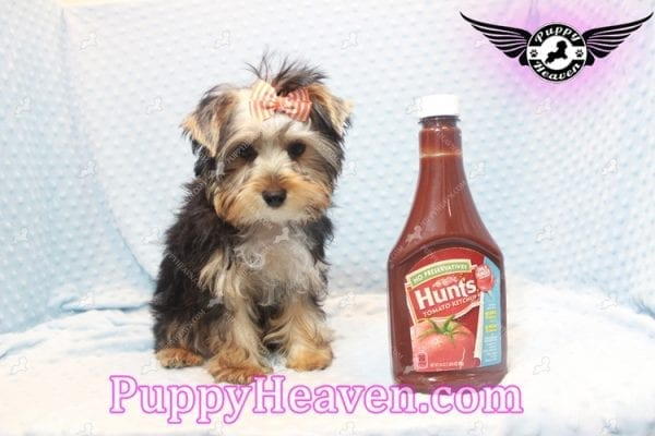 Prince William - Teacup Yorkie Puppy has found a good loving home with Martina from Las Vegas, NV 89113-11105