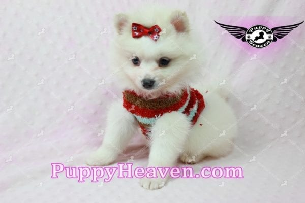 Snow White - Toy Pomeranian Puppy In Las Vegas-10850