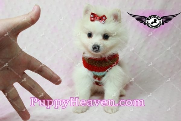 Snow White - Toy Pomeranian Puppy In Las Vegas-10847