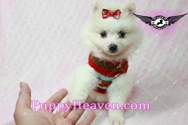 Snow White - Toy Pomeranian Puppy In Las Vegas-10845