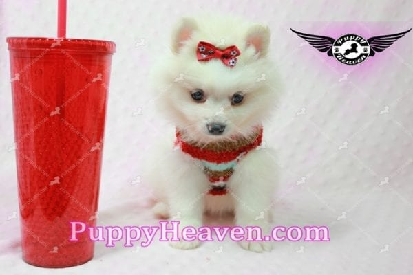 Snow White - Toy Pomeranian Puppy In Las Vegas-0
