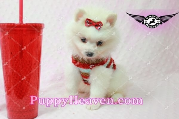 Snow White - Toy Pomeranian Puppy In Las Vegas-10844