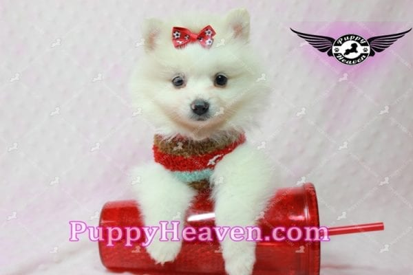 Snow White - Toy Pomeranian Puppy In Las Vegas-10849