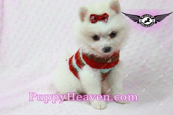 Snow White - Toy Pomeranian Puppy In Las Vegas-10848