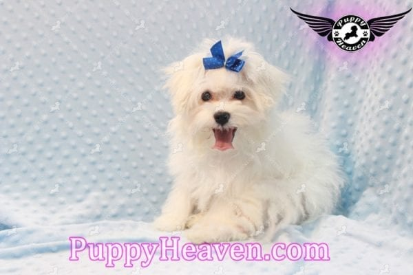 Solitaire - Toy Maltese Puppy has found a good loving home with LIANE FROM LAS VEGAS, NV 89179-11090
