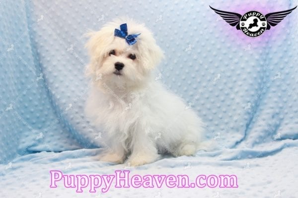 Solitaire - Toy Maltese Puppy has found a good loving home with LIANE FROM LAS VEGAS, NV 89179-0
