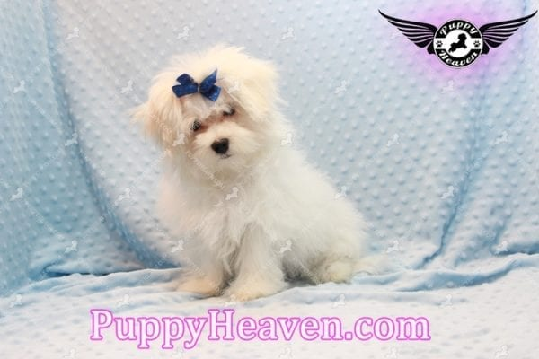 Solitaire - Toy Maltese Puppy has found a good loving home with LIANE FROM LAS VEGAS, NV 89179-11091
