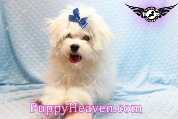Solitaire - Toy Maltese Puppy has found a good loving home with LIANE FROM LAS VEGAS, NV 89179-11092
