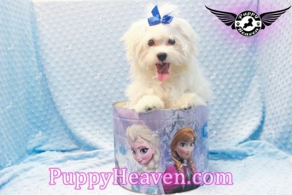 Solitaire - Toy Maltese Puppy has found a good loving home with LIANE FROM LAS VEGAS, NV 89179-11095