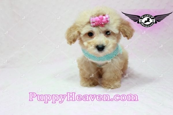 Stacey Dash - Teacup Maltipoo Puppy has found a good loving home with Dean from Las Vegas, NV 89148-10939