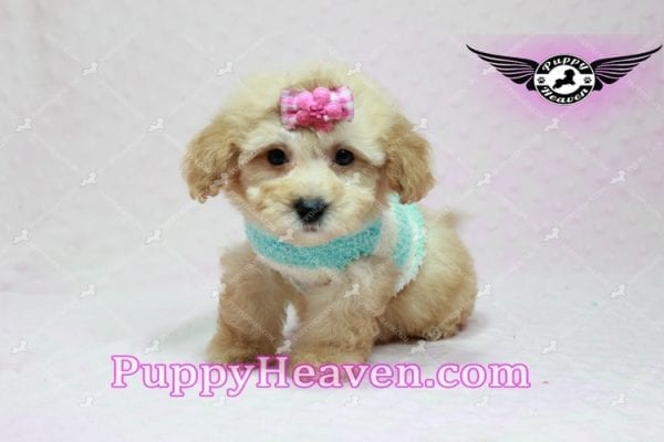Stacey Dash - Teacup Maltipoo Puppy has found a good loving home with Dean from Las Vegas, NV 89148-10933