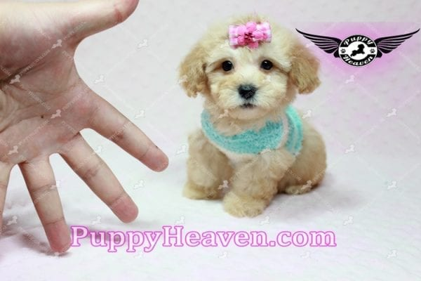 Stacey Dash - Teacup Maltipoo Puppy has found a good loving home with Dean from Las Vegas, NV 89148-10932