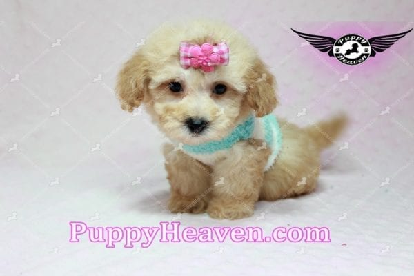Stacey Dash - Teacup Maltipoo Puppy has found a good loving home with Dean from Las Vegas, NV 89148-10934